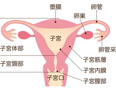 生理痛-子宮